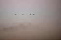 North America, United States, Nebraska, Wood River, Platte River. Sandhill Cranes flying through the dawn fog