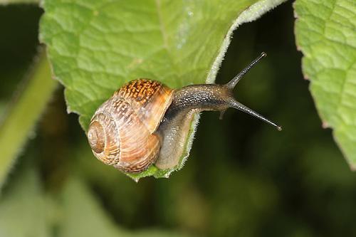 Copse Snail - Arianta arbustorum