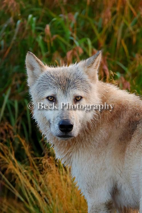 Staring Alaskan Wolf