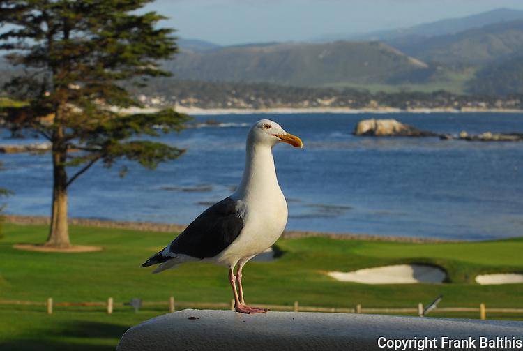 Gull at the Lodge at Pebble Beach