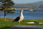 Gull at the Lodge at Pebble Beach