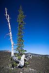 Whitebark pine snag, McKenzie Pass, Willamette National Forest
