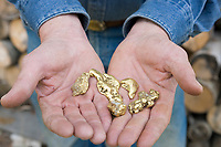 Man holds large gold nuggets in his hands, Fox, Alaska