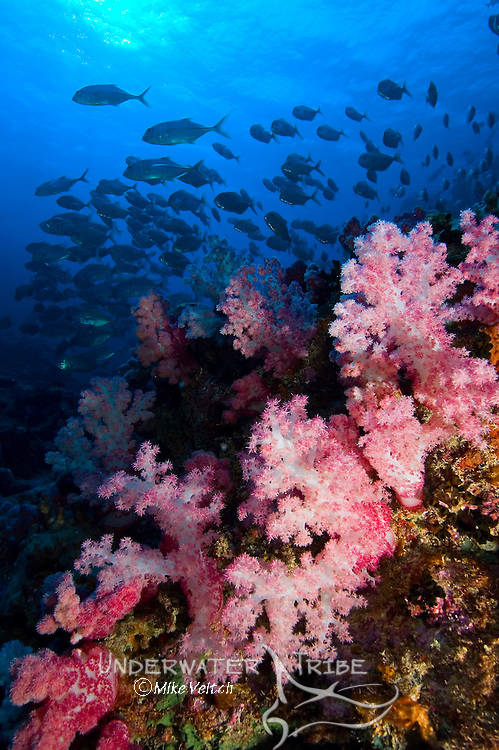 Soft coral, Dendronephthya sp., with school of horse-eye jacks, Caranx sexfasciatus, in background, Yap, Federated States of Micronesia, Pacific Ocean
