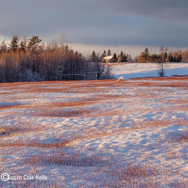 Snow-covered blueberry barrens in Jonesport, ME, USA