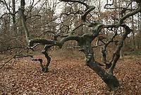 Europe/France/Champagne-Ardenne/51/Marne/Parc Naturel Montagne de Reims/Verzy: les Faux de Verzy Hètres tortillards
