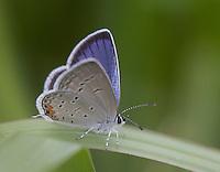 Eastern Tailed Blue butterfly; Cupido comyntas; PA, Philadelphia, Lardner's Point Park