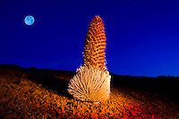 Nighttime view of a silversword bloom with a full moon at Haleakala Crater, Maui.