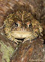 0602-0918  Fowler's Toad, Anaxyrus fowleri [syn: Bufo fowleri (Bufo woodhousii fowleri)]  © David Kuhn/Dwight Kuhn Photography