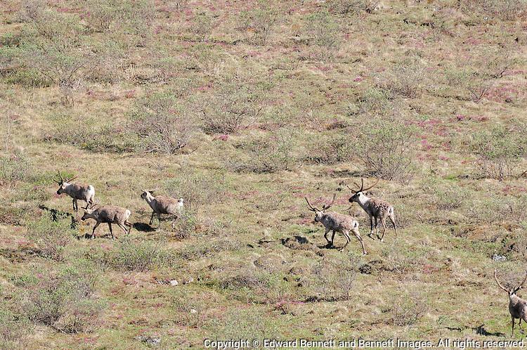 Caribou migrate northwardalong the Kongakut River, in Alaska's Arctic National Wildlife Refuge.