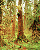 USA, Washington State, Sitka spruce trees covered in moss, Olympic National Park