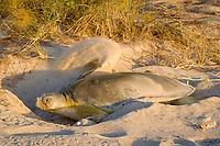 Australian flatback sea turtle, Natator depressus, female covering nest after laying, Crab Island, off Cape York Peninsula, Torres Strait, Queensland, Australia