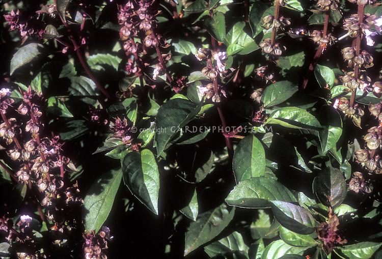 Ocimum thyrisiflora Thai (Thai Basi) nherb growing in flower