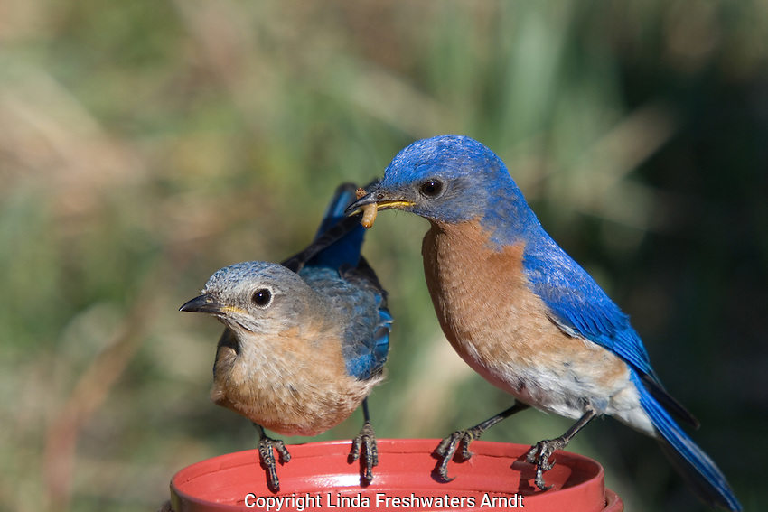 Male eastern bluebird feeding his mate mealworms