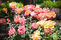 Occidental College campus, flowering roses. April 8, 2010. (Photo by Marc Campos, Occidental College Photographer)