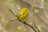 Adult male Prairie Warbler (Dendroica discolor) in breeding plumage. Tompkins County, New York. May.
