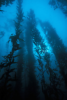 A productive kelp forest in Monterey Bay, California.