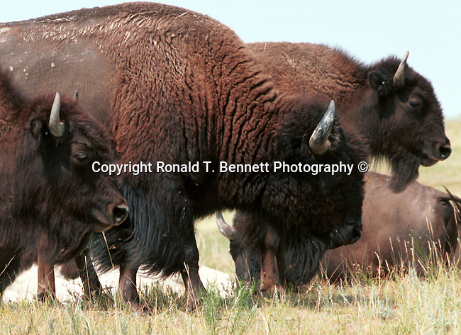 American Bison, North American bison, American buffalo, buffalo, grasslands of North America, Plains Bison, Wood Bison,  Animal, wild animals, domestic animals,  Fine Art Photography, Coyote, Canis latrans, prairie wolf, North America, barking dog, coyote, animal, wild animals, domestic animals,  Fine Art Photography, Ron Bennett Photography ©, Fine Art Photography by Ron Bennett, Fine Art, Fine Art photography, Art Photography, Copyright RonBennettPhotography.com ©