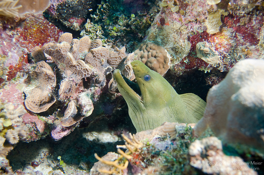 Discovery Dive Site, South Water Caye Marine Reserve, Belize, Central America; a Green Morey Eel (Gymnothorax funebris) pokes its head out of a crevice in the coral reef , Copyright © Matthew Meier, matthewmeierphoto.com All Rights Reserved