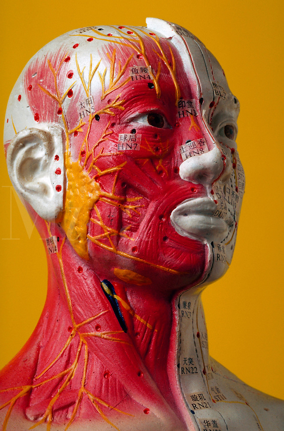 Human head with muscle formation