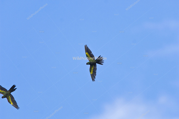 An endangered Thick-billed Parrot, Rhynchopsitta pachyrhyncha, in flight; Sierra Madre Occidental, Chihuahua, Mexico