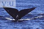 A Right Whale (Eubalaena glacialis) Grand Manan, New Brunswick, Canada
