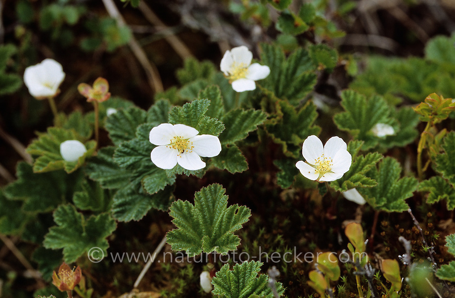 Moltebeere, Molte-Beere, Multebeere, Multbeere, Rubus chamaemorus, cloudberry