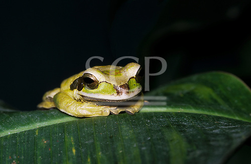 Monte Verde, Costa Rica. Masked smilisca frog (Smilisca phaeota) on a leaf.