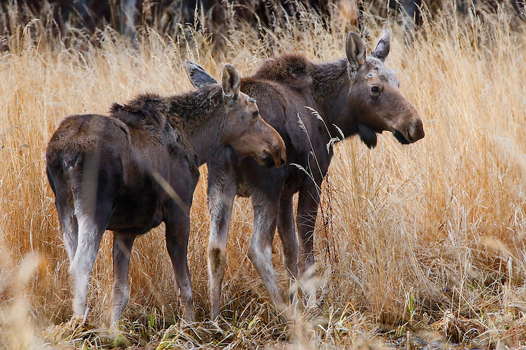 A pair of young moose wander through some tall grass in early spring