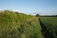Hedge and field margin next to a crop Winter wheat<br /> &copy;Tim Scrivener Photographer 07850 303986<br /> ....Covering Agriculture In The UK....