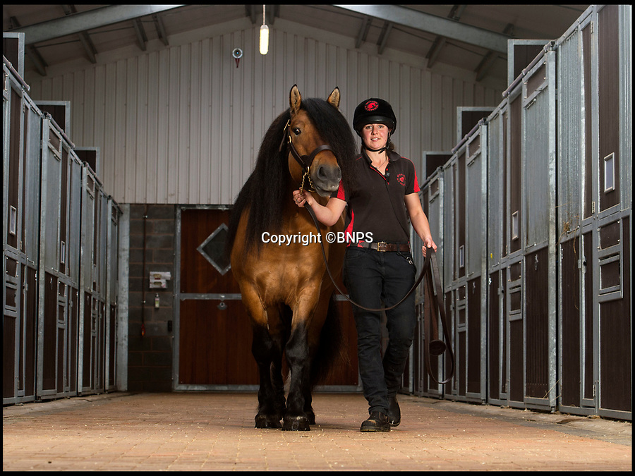 BNPS.co.uk (01202 558833)Pic: PhilYeomans/BNPS<br /> <br /> The Queen's prize Highland Pony stallion 'Balmoral Lord' is now doing its bit for the National Livestock Gene Bank.<br /> <br /> The Queen and Prince Charles are backing a campaign by the Rare Breeds Survival Trust to boost the National Livestock Gene Bank - to collect and store precious genetic material from Britains unique rare breeds before losing them forever.<br /> <br /> A conference starting today in Shropshire will hear that some rare breeds of heavy horse for instance could disapear within 10 years unless drastic action is taken.<br /> <br /> RBST CEO Tom Beeston said some breeds are 'teetering on the edge of extinction, with only a handfull of breeders keeping them away from disappearing altogether'<br /> <br /> To help with the launch the Queen has leant her prize Highland Pony 'Balmoral Lord' to the state of the art Staillion AI centre in Shropshire so samples can be taken and preserved of the endangered Scottish breed.<br /> <br /> Suffolk heavy horses are now critically endangered (less breeding mares than Giant Panda's) and the centre has a one year old from which samples can also be stored.