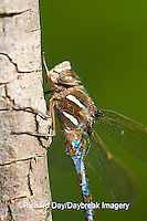 06364-002.04 Springtime Darner (Nasiaeschna pentacantha) male, Marion Co  IL