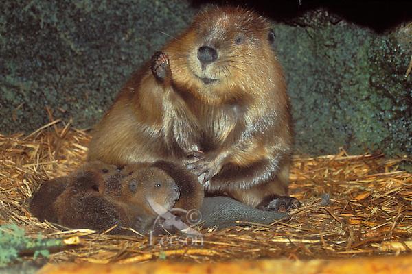 American Beaver (Castor canadensis) family inside lodge.