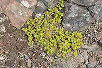 Fringed Rupturewort - Herniaria ciliolata