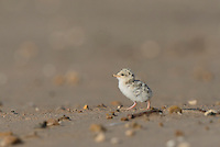 Least Tern (Sterna antillarum), young tern, Port Isabel, Laguna Madre, South Padre Island, Texas, USA
