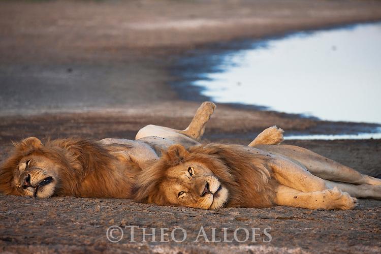 Tanzania, Ngorongoro Conservation Area, Ndutu, two male lions resting at sunset