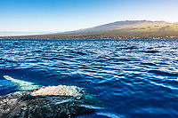 A humpack whale does a barrel roll and exposes its belly, with Maui's distant Haleakala as a witness.