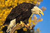 Bald Eagle calling while perched before a fall colored tree.