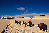 Bison, Hayden Valley, Yellowstone National Park, Wyoming USA