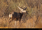 Mule Deer, Bosque del Apache Wildlife Refuge, New Mexico