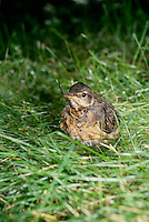 Fledgling robin out of nest tries to make her way walking after landing on the groud