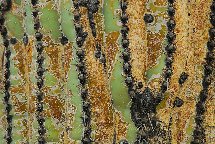 Up close look at the skin of a saguaro cactus.