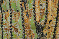 Up close look at the skin of a saguaro cactus.