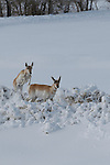 A large herd of Pronghorn Antelope, Antilocapra americana, in deep fresh snow near Elk Mountain, Wyoming