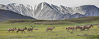 Panorama of a herd of caribou traversing the summer tundra in Denali National Park, Alaska.
