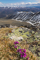 Chuckchi primrose blossoms grow on Cut Mountain, the highest summit in the Yukon Charley Rivers National Preserve.