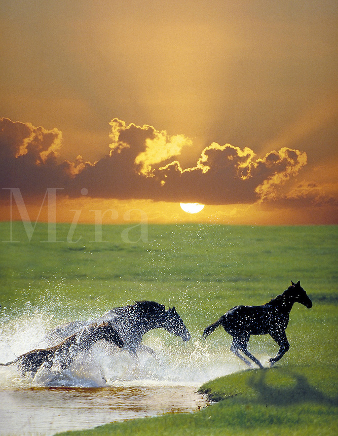 Thoroughbred horses splash through water with brilliant sunset. Power, beauty, grace. Mares and foals. photo montage, special effects, animals, horse. Florida.