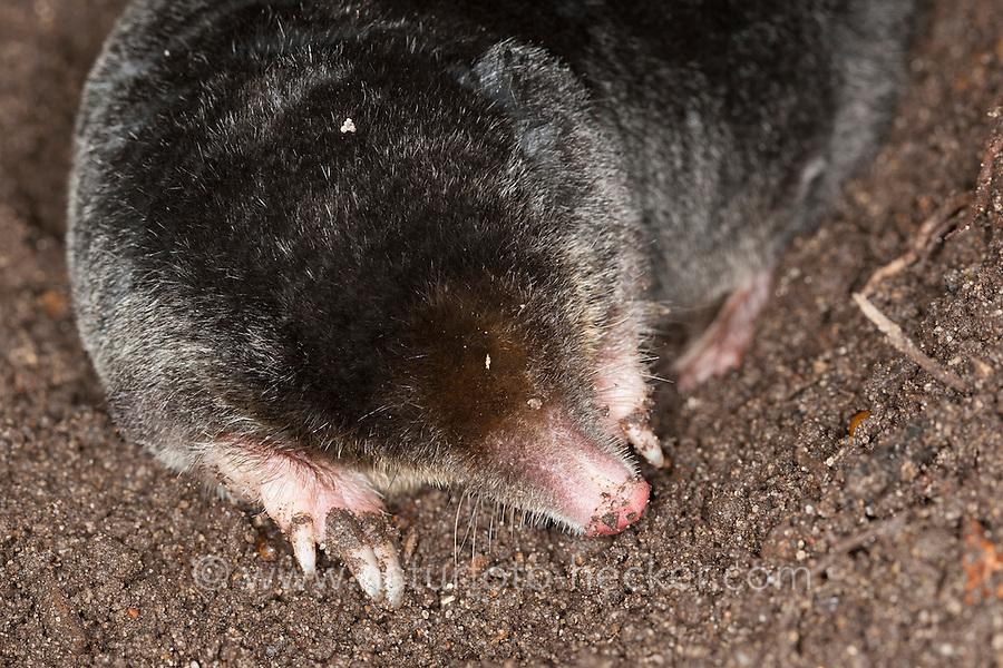 Maulwurf, Europäischer Maulwurf, Talpa europaea, European mole, common mole, northern mole, mole