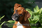 Bob, ANIMALS, REALISTISCHE TIERE, ANIMALES REALISTICOS, dogs, photos+++++,GBLA4301,#a#, EVERYDAY