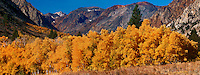 920000005 fall colored golden aspens fill lundy canyon below the majestic eastern sierras in mono county california
